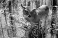 Photograph of Deer - NARA - 2129379.tif