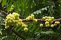 Phyllanthus acidus(star gooseberry) (18580076090).jpg