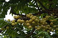 Phyllanthus acidus03.JPG