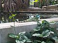 Physignathus cocincinus - Kew 6.jpg
