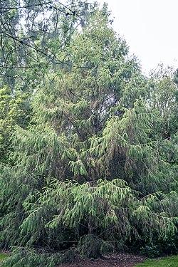 Picea brachytyla, Christchurch Botanic Gardens.jpg