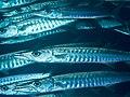 Pickhandle barracuda (Sphyraena jello) (46864583875).jpg