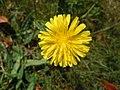 Picris hieracioides in Belle-Île en mer fleur.jpg