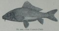 Picture Natural History - No 202 - The Common Carp.png