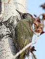 Picus viridis sharpei 077.jpg