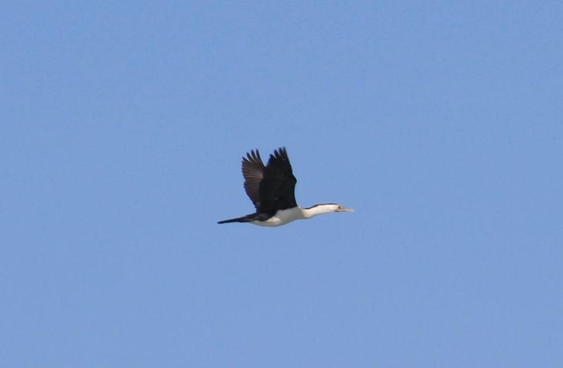 File:Pied Cormorant. (14111571258).jpg