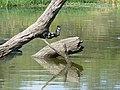 Pied kingfisher (393956723).jpg