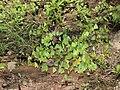 Pieridae puddling from Savandurga IMG 9791.jpg