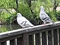 Pigeons 鴿子 - panoramio.jpg