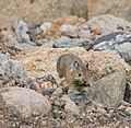 Pika gathering grass for the winter (2835629646).jpg