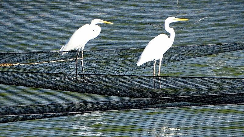 בריכות דגים במעגן מיכאל