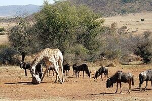Mineral lick - Image: Pilanesberg Salt lick 001