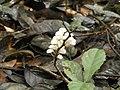 Pilz 6 Nationalpark Tai.jpg