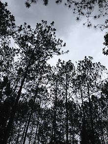 Pine forest in Nam Nao National Forest.jpg