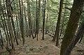 Pine forest in Uttarakhand JEG0929.jpg