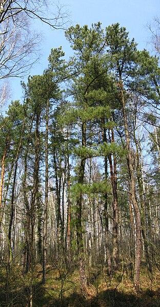 File:Pinus Rigida Nieporęt.jpg