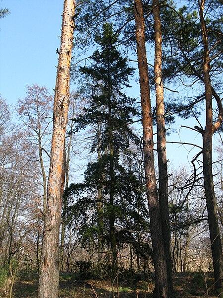 File:Pinus banksiana Nieporę Forest.jpg