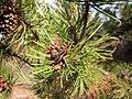Pinus contorta 8140.jpg