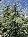 Pinus lambertiana Icehouse Canyon.jpg