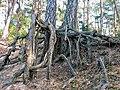 Pinus silvestris roots001xx.jpg