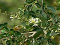 Pithecellobium dulce (2121844789).jpg