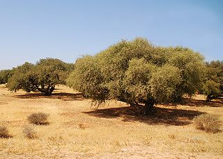 plant oil produced from the kernels of the argan tree