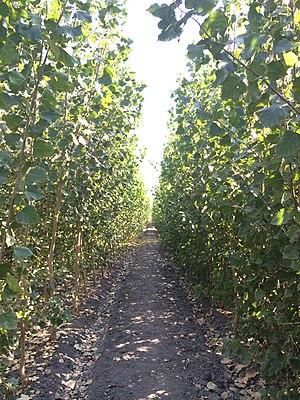 Short rotation coppice - Biofuel SRC plantation in California