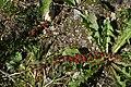 Plante inconnue 3476.JPG