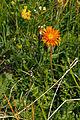Plants from Vallon peaks Sella 05.jpg