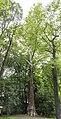 Platanus x acerifolia - Villa Belgioioso Bonaparte - Milano.jpg