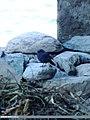 Plumbeous Water Redstart (Rhyacornis fuliginosa) (15268540213).jpg