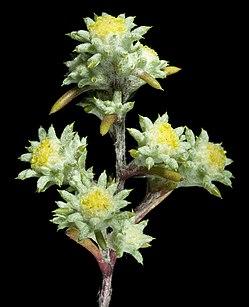 Pogonolepis stricta - Flickr - Kevin Thiele.jpg