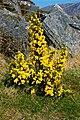 Poison Glen - Gorse was in bloom everywhere - geograph.org.uk - 1189739.jpg