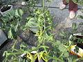 Pokok tomato ceri (2).JPG