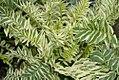 Polemonium caeruleum Snow & Sapphires 0zz.jpg