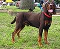 PolishScenthoundChPl-DRAN-GoniecPomorski-wl.M.Dydel.jpg