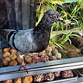 Polk always getting crazier, pigeon INSIDE the shop! (photo by j bizzie).jpg