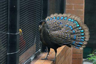 Malayan peacock-pheasant species of bird