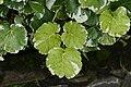 Polyscias balfouriana 2815.jpg