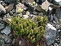Polystichum lemmonii.jpg