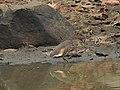 Pond heron 01.jpg