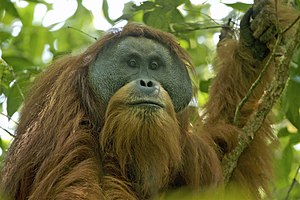 Tapanuli orangutan - Adult male