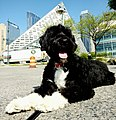 Portuguese Water Dog in NYC.jpg