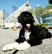 Portuguese Water Dog -...