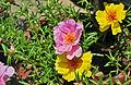 Portulaca grandiflora, Burdwan, 30032014 (11).jpg