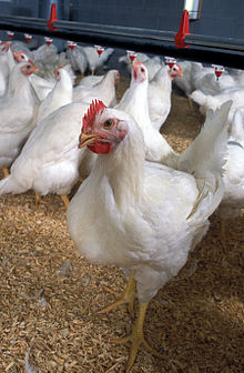 Poultry Classes Blog photo - Flickr - USDAgov.jpg