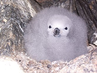 Snow petrel - The chick