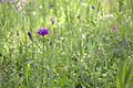 Prairie jardin compans.jpg