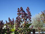 Pre-Blossom Syringa vulgaris.JPG