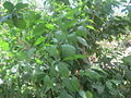 Premna latifolia.JPG